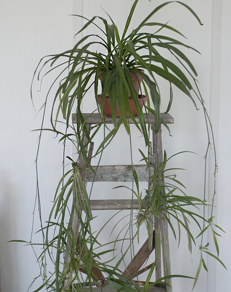 Spider Plant - 5 Easy House Plants @themerrythought