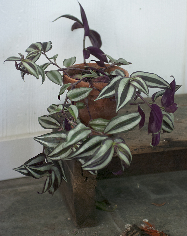 Wandering Jew - 5 Easy House Plants @themerrythought