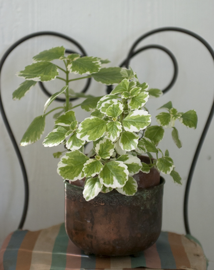 Swedish Ivy - 5 Easy House Plants @themerrythought