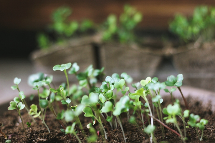 How to Grow Microgreens at Home @themerrythought