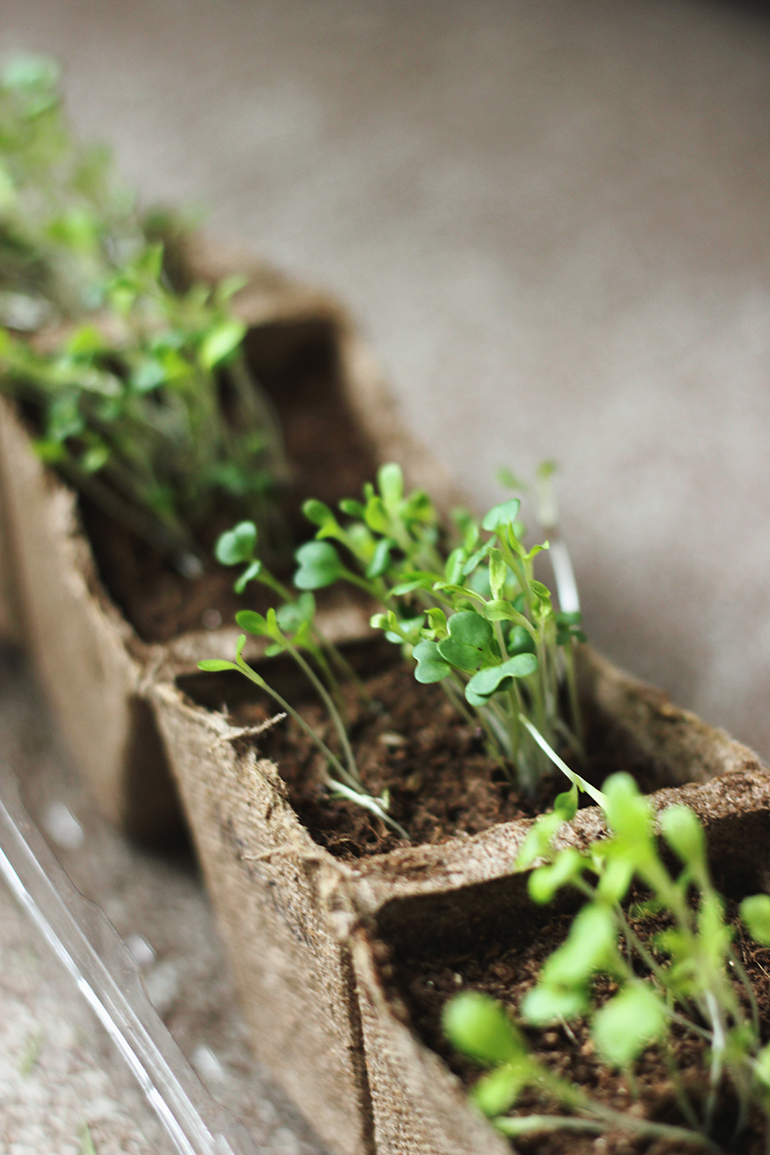 how to grow microgreens the merrythought